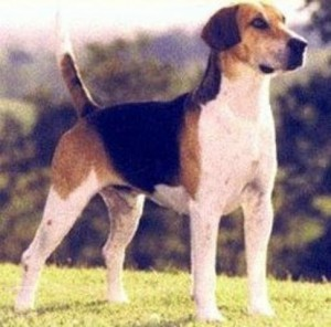 anglicky-foxhound-igallery-image0001322_igallery_image0000002--640x480--logo--server-haficicz.jpg
