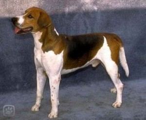 anglicky-foxhound-2-igallery-image0001321_igallery_image0000001--640x480--logo--server-haficicz.jpg